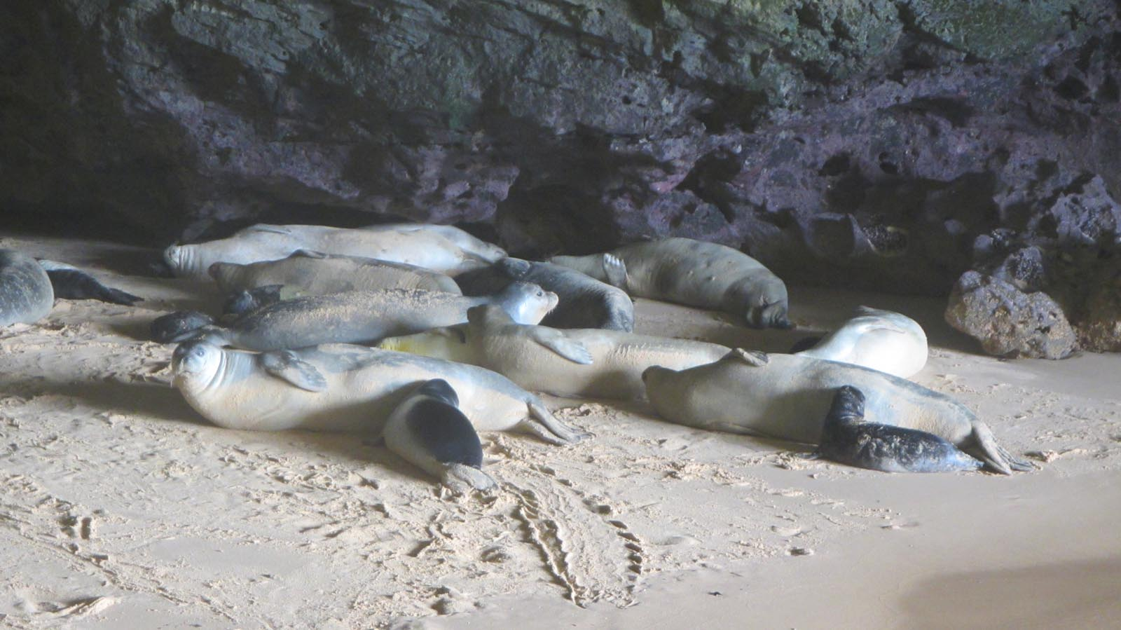 Resounding success in 2015: 73 monk seal pups born in Mauritania